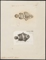 Amphiprion percula - 1700-1880 - Print - Iconographia Zoologica - Special Collections University of Amsterdam - UBA01 IZ13900254.tif