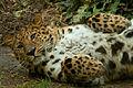 Amur Panther (4584919455).jpg