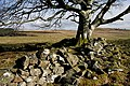 An old wall and beech tree on Skelston Moor - geograph.org.uk - 1725926.jpg