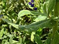 Anchusa officinalis leaf (02).jpg