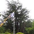 Ancient Cedar, Fordell Castle Gardens (geograph 5637268).jpg