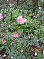 Anemone hupehensis var japonica1.jpg