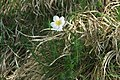 Anemone sylvestris in natural monument Sedlina in spring 2012 (3).JPG