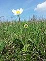 Anemone sylvestris sl27.jpg