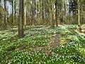 Anemonen im Wald zwischen Oberaichen, Musberg und Leinfelden - geo.hlipp.de - 7650.jpg