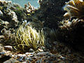Anemonia sulcata76.jpg