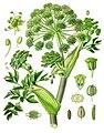 Angelica archangelica - Köhler–s Medizinal-Pflanzen-158.jpg