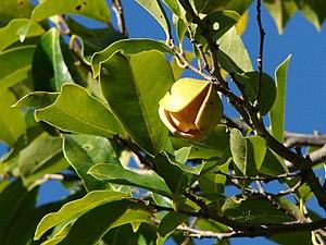 Annona montana - Image: Annona montana