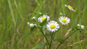 File:Annual fleabane (Erigeron annuus).webm