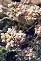 Antennaria dioica var borealis 2.jpg