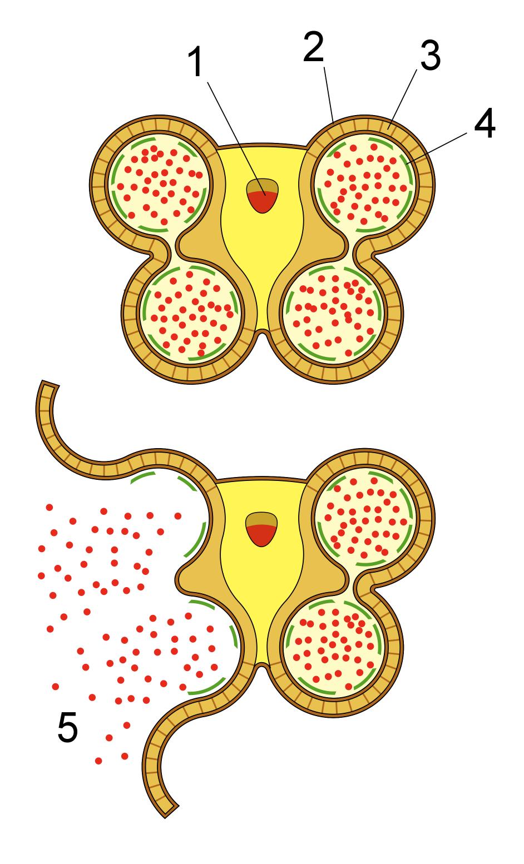 Anther-schematic-detail