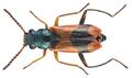Anthocomus bipunctatus (Harrer, 1784) male (16588666685).png
