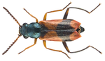 File:Anthocomus bipunctatus (Harrer, 1784) male (16588666685).png