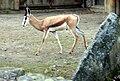 Antidorcas marsupialis Dvur zoo 1.jpg