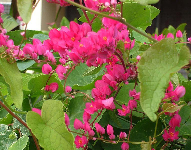 File antigonon wikimedia commons - Plantas resistentes al sol ...