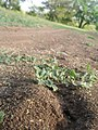 Ants - panoramio (1).jpg
