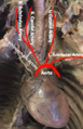 Aorta in vitro final.png
