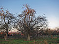 Apfel Dornau, 2.jpg