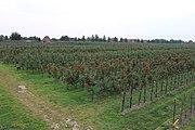 Apfelfläche in Jork-Königreich 01.jpg