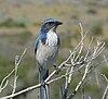 Aphelocoma californica -Montana de Oro State Park, California, USA-8
