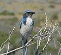 Aphelocoma californica -Montana de Oro State Park, California, USA-8.jpg