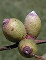 Apiomorpha conica.jpg