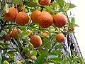 Appelsiner-i-Alcazar.jpg
