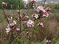 Apple blossom, former Barton Tip - geograph.org.uk - 1277602.jpg