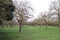 Apple orchard near Riverside Farm - geograph.org.uk - 1618363.jpg