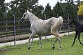 Arabian Simeon Stud(4429044234).jpg
