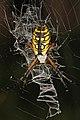 Arachtober 17 -2 - Black and Yellow Argiope- Argiope aurantia, Green Swamp, Supply, North Carolina.jpg