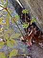 Aralia nudicaulis - Wild Sarsaparilla.jpg