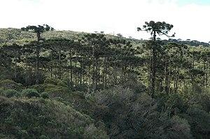 Araucaria moist forests - Araucaria moist forest in Aparados da Serra National Park, Brazil.