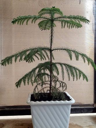Araucaria heterophylla - An Araucaria heterophylla placed in a balcony in Qom, Iran. The photo is taken in a hot summer afternoon.
