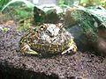 Argentine - horned - frog - red.jpg