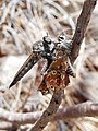 Aricia cramera being devoured by robber fly.jpg