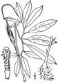 Arisaema dracontium (L.) Schott Green dragon.tiff