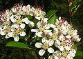 Aronia arbutifolia2475275707.jpg