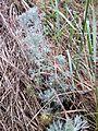 Artemisia austriaca sl7.jpg