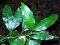 Arytera distylis leaves.jpg