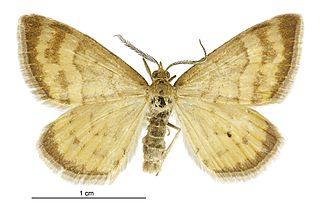 <i>Asaphodes abrogata</i> species of moth