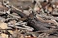 Asilidae sp. (32663700645).jpg