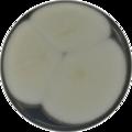 Aspergillus bisporus cya.png