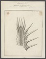 Asterias echinites - - Print - Iconographia Zoologica - Special Collections University of Amsterdam - UBAINV0274 108 03 0002.tif
