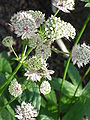 Astrantia major8.jpg