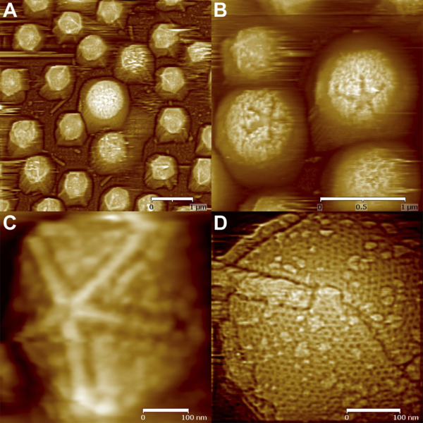 File:Atomic force microscopic images of starfish-shaped features on defibered mimiviruses - journal.pbio.1000092.g004.png