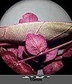 Atriplex hortensis sl25.jpg