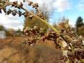 Atriplex patula - spear saltbush - Flickr - Matt Lavin (1).jpg