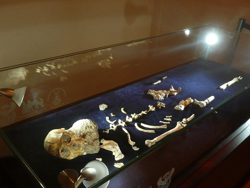 Datei:Australopithecus sediba MH1 (ausgestellt in Maropeng).JPG