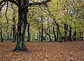 Autumn beech trees, Sefton Park - geograph.org.uk - 328881.jpg